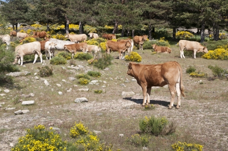 Cows grazing in Casillas Mountain Pass, Iruelas Valley Natural Park, Avila, Spain  photo
