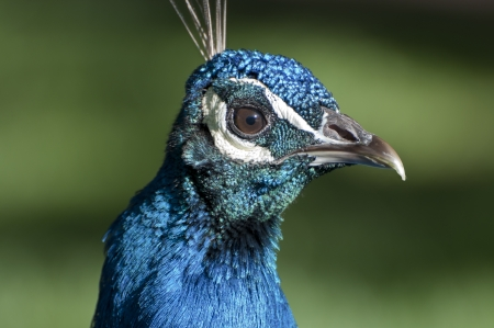 Portrait of a male of Peacock.  photo