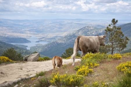 Two cows grazing in Casillas Mountain Pass, Iruelas Valley Natural Park, Avila, Spain, with the El Bruguillo reservoir at the background  photo