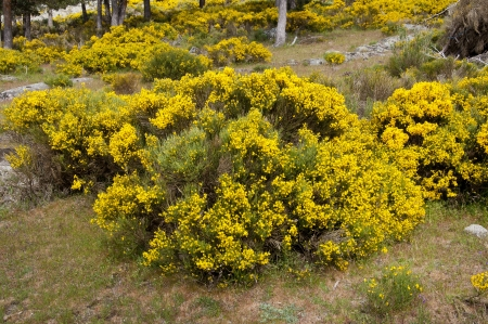 Broom grove, Cytisus purgans, in Casillas Mountain Pass, Iruelas Valley Natural Park, Avila, Spain