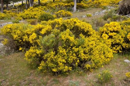 Broom grove, Cytisus purgans, in Casillas Mountain Pass, Iruelas Valley Natural Park, Avila, Spain
