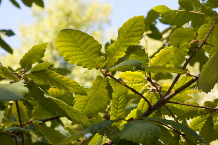 Leaves and branches of Algerian Oak Stock Photo