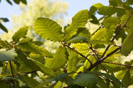 Algierski: Liście i gałęzie algierskiej Oak Zdjęcie Seryjne