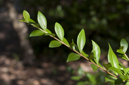 true myrtle: Leaves of Common Myrtle