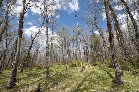 pyrenean: Bosco di querce dei Pirenei a Rascafria, Madrid, Spagna