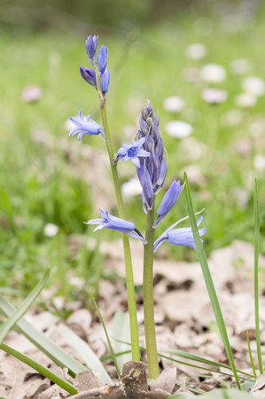 hispanica: Flowers of Spanish bluebell, Hyacinthoides hispanica  It is a spring-flowering bulbous perennial native to the Iberian Peninsula