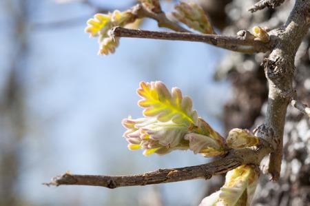 quercus: Leaves sprouts of Pyrenean oak, Quercus pyrenaica
