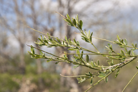 Leaves and branches of Genista florida
