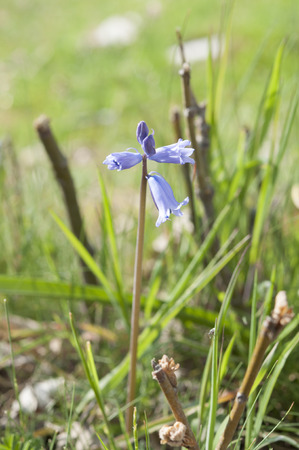 bluebell: Flowers of Spanish bluebell, Hyacinthoides hispanica. It is a spring-flowering bulbous perennial native to the Iberian Peninsula