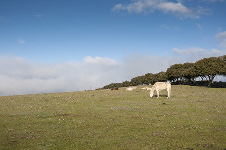 viejo: White horse and sheep resting in a field of Colmenar Viejo, Madrid, Spain