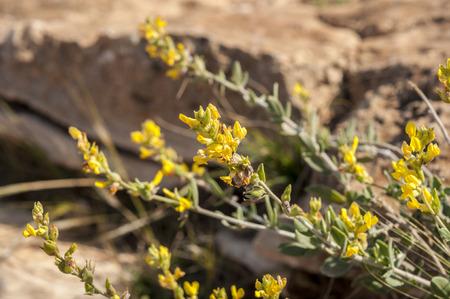 Flowers of Anthyllis cytisoides Stock Photo