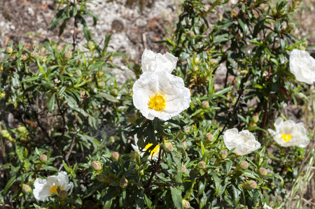 Flowers of Gum rockrose, Cistus ladanifer. Photo taken in Guadarrama Mountains, La Cabrera, Madrid, photo