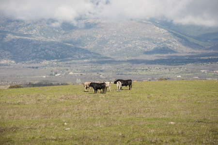 Herd of bulls in a field of Colmenar Viejo, Madrid, Spain, with Guadarrama Mountains in the background