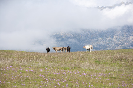 viejo: Herd of bulls in a field of Colmenar Viejo, Madrid, Spain, with Guadarrama Mountains in the background