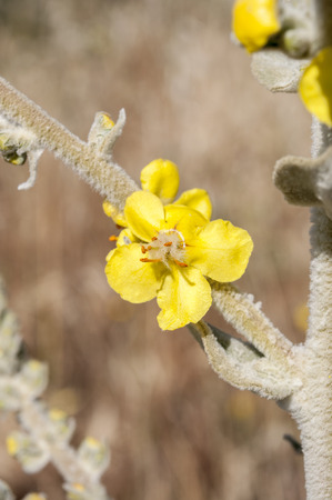 viejo: Flowers of mullein, Verbascum. It is a genus of flowering plants in the family Scrophulariaceae. Photo taken in Colmenar Viejo, Madrid, Spain Stock Photo