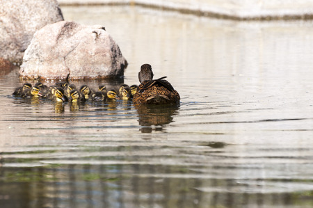 dabbling: Family of Wild ducks, Anas platyrhynchos, swimming in a pond. Photo taken in the Garden of Cecilio Rodriguez, Retiro Park, Madrid, Spain