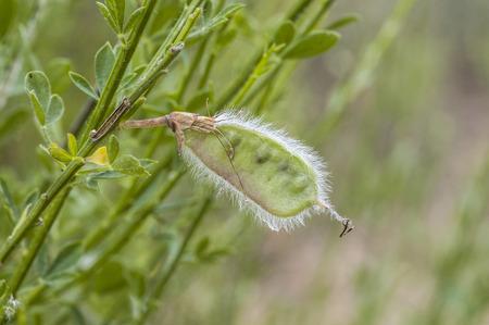 viejo: Fruits of Common broom, Cytisus scoparius. Photo taken in Guadarrama Mountains, Colmenar Viejo, Madrid, Spain