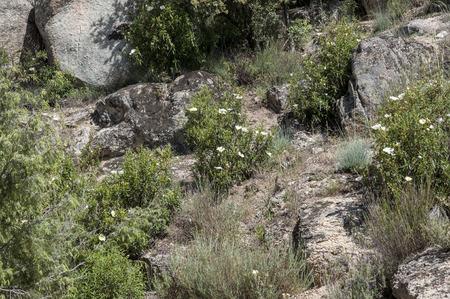 Mediterranean shrublands in Guadarrama Mountains, La Cabrera, Madrid, Spain photo