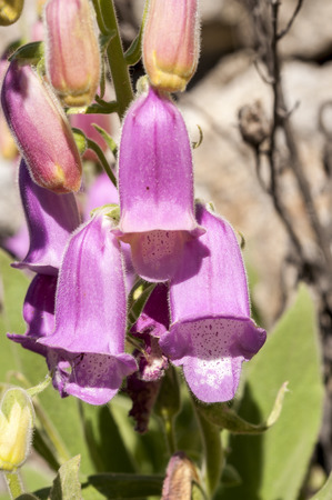 viejo: Flowers of Spanish foxglove, Digitalis thapsi. Photo taken in Colmenar Viejo, Madrid, Spain