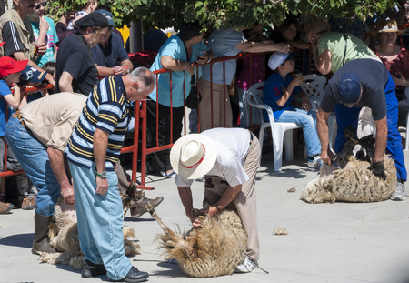 shearer: Traditional shearing sheep during a demonstration in Colmenar Viejo, Madrid, Spain on June 8, 2014