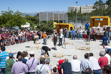 viejo: Traditional shearing sheep during a demonstration in Colmenar Viejo, Madrid, Spain on June 8, 2014
