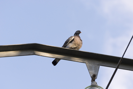 viejo: Specimen of Common Wood Pigeon, Columba palumbus, perched on pylon. It is a large species in the dove and pigeon family. Photo taken in Colmenar Viejo, Madrid, Spain