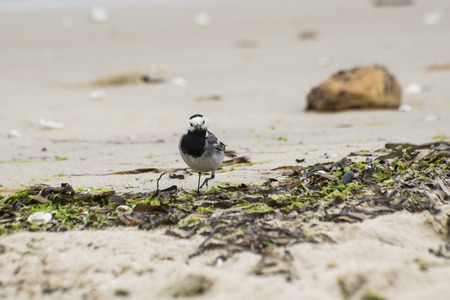 motacillidae: Adult specimen of White Wagtail, Motacilla alba, feeding on the beach. It is a small passerine bird in the wagtail family Motacillidae, which also includes the pipits and longclaws. Photo taken in Moaa, Vigo estuary, Pontevedra, Spain