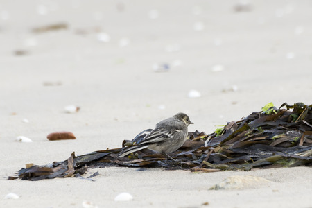 white wagtail: Juvenile specimen of White Wagtail, Motacilla alba, feeding on the beach. It is a small passerine bird in the wagtail family Motacillidae, which also includes the pipits and longclaws. Photo taken in Moaa, Vigo estuary, Pontevedra, Spain
