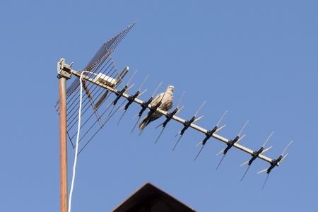 viejo: Specimen of Eurasian collared dove perched on a TV antenna. It is a species of dove native to Asia and Europe, and also recently introduced in North America. Photo taken in Colmenar Viejo, Madrid, Spain