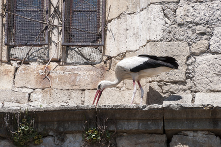 corbel: Adult of White stork, Ciconia ciconia, on a corbel of a church. Photo taken in Soto del Real, Madrid, Spain