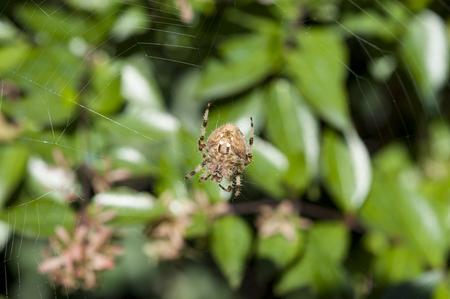 araneidae: Garden spider on the web