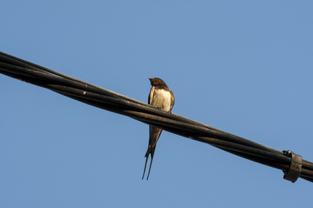 barn swallow: Adult of Barn swallow perched on a telephone wire. Stock Photo