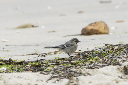 passerine: Juvenile specimen of White Wagtail, Motacilla alba, feeding on the beach. It is a small passerine bird in the wagtail family Motacillidae, which also includes the pipits and longclaws. Photo taken in Moaña, Vigo estuary, Pontevedra, Spain