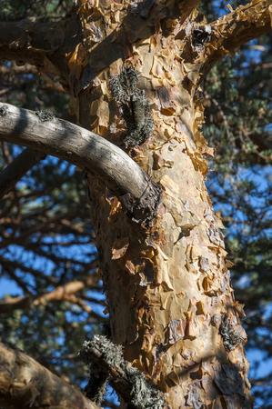 pinus sylvestris: Bark of Scots pine, Pinus sylvestris