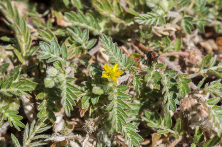 pinnately: Flowers of Tribulus terrestris. It is native to warm temperate and tropical regions of the Old World, and an invasive species in North America