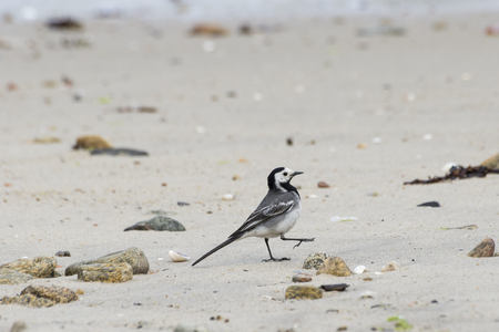 motacillidae: Adult specimen of White Wagtail, Motacilla alba, feeding on the beach. It is a small passerine bird in the wagtail family Motacillidae, which also includes the pipits and longclaws. Photo taken in Moaña, Vigo estuary, Pontevedra, Spain Stock Photo