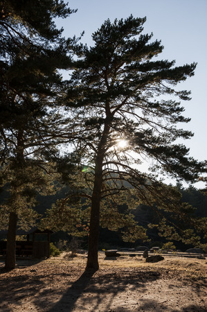 scots pine: Scots Pine forest in Guadarrama Mountains, Madrid, Spain Stock Photo