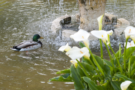 Wild duck, Anas platyrhynchos, swimming in a pond. Photo taken in the Garden of Cecilio Rodriguez, Retiro Park, Madrid, Spain Stock Photo
