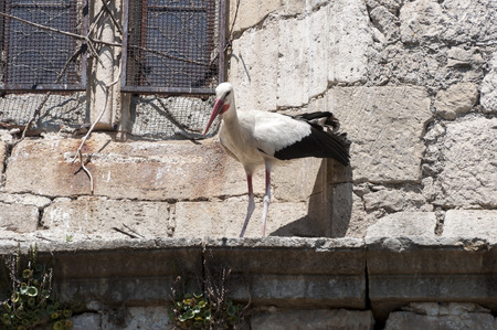 corbel: Adult of White stork, Cicconia cicconia, on a corbel of a church. Photo taken in Soto del Real, Madrid, Spain Stock Photo
