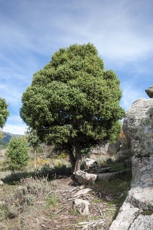 Specimen of Cade tree, Juniperus oxycedrus. It is a species of juniper, native across the Mediterranean region. Photo taken in La Barranca Valley, in Guadarrama Mountains, Madrid, Spain. Stock Photo
