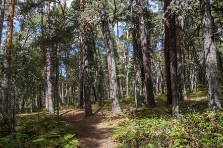 scots pine: Scots Pine forest in Guadarrama Mountains, Segovia, Spain