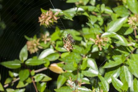 araneidae: Garden spider preying on a honey bee