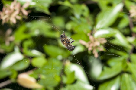 araneidae: Honey bee trapped in a spider web