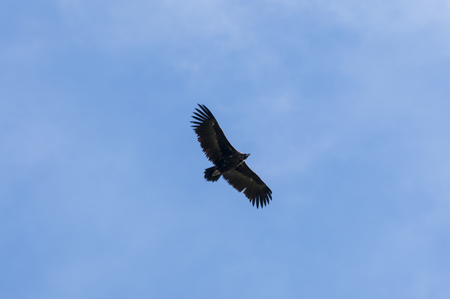 scavenge: Cinereous Vulture, Aegypius monachus, in flight. It is a large raptorial bird that is distributed through much of Eurasia. Photo taken in Colmenar Viejo, Madrid, Spain Stock Photo