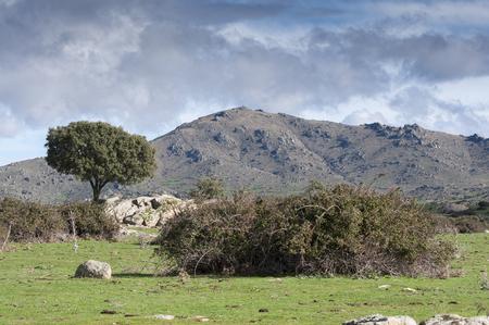 viejo: Holm Oak, Quercus ilex, growing next to a stone wall. In the background, the Cerro de San Pedro (San Pedro Peak). Photo taken in Colmenar Viejo, Madrid, Spain