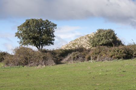Holm Oak, Quercus ilex, growing next to a stone wall. In the background, the Cerro de San Pedro (San Pedro Peak). Photo taken in Colmenar Viejo, Madrid, Spain