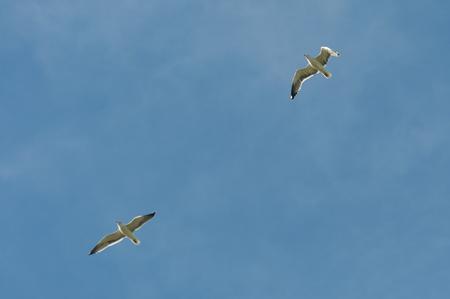 viejo: Yellow-legged gulls, Larus michahellis in flight. Photo taken in Colmenar Viejo, Madrid, Spain