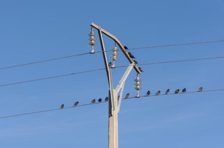 powerline: Flock of Spotless Starling, Sturnus unicolor, perched on a power line. Photo taken in Mesa de Oca�a, Toledo, Spain