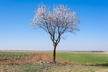the arable land: An almond tree in blossom in an agricultural landscape in Toledo Province, Spain. Stock Photo