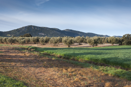 Olive groves and barley fields in an agricultural landscape in La Mancha, Ciudad Real Province, Spain. In the background can be seen the Toledo Mountains